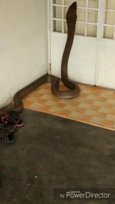 长达8尺粗如成人手臂的眼镜蛇王昂首攀上住家铁门,令人看来毛骨悚然。