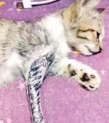 小猫腿部的毛被剃光,然后被文身。