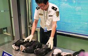 这批熊掌重达22.5公斤,是湖南口岸首次截获熊掌。