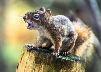 当局怀疑袭击人的松鼠患有疯狗症。(资料照片)
