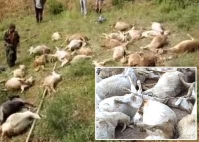 """超过50只被雷击""""劈死""""的羊只伏尸山坡。"""