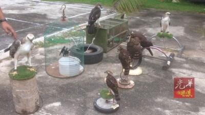 吉打州野生动物保护及国家公园局起获的老鹰。