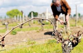 法国今年葡萄失收,产量可能创历史新低。