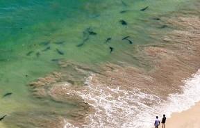 警方已加派直升机在海水浴场上空巡逻,监视鲨鱼出没情况。