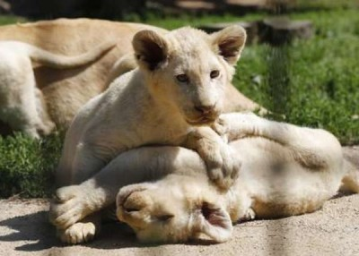 白狮已经让列为濒危物种。