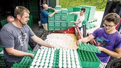 荷兰鸡蛋受杀虫剂污染丑闻续扩大,该国农场被迫丢弃受传染鸡蛋。