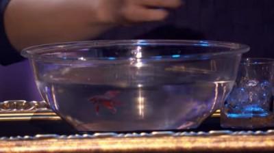 魔术师蔡威泽使出通灵术用冰块变出活生生的斗鱼。