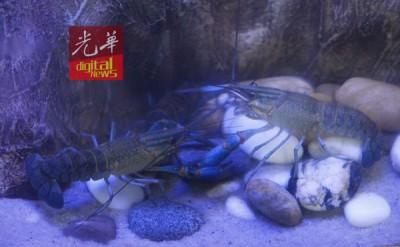 萌哒哒的蓝鳌虾也是禁养的哦!