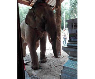 大象凝视著棺材许久,又起身并下跪数次。
