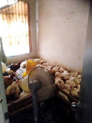 越南籍嫌犯是把偷来的鸡养一间房内。