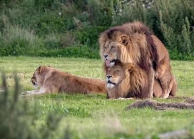 2只有雄狮看来像在交配,边的母狮把头转开。