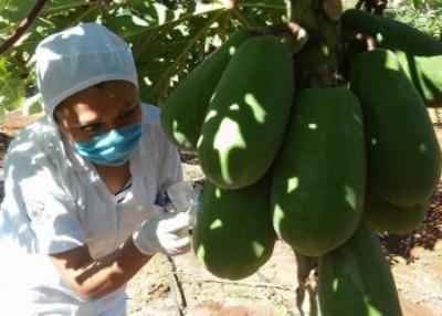 卡里卡坎佩切农场已对种植的木瓜采取安全措施。