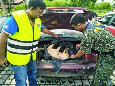 执法人员展示在车后厢起获的山猪仔。