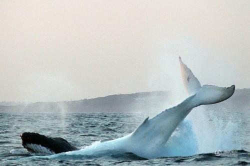 摄影师Jonas Liebschner 在悉尼海岸苦等数周,终于拍摄到了白色座头鲸米伽罗。