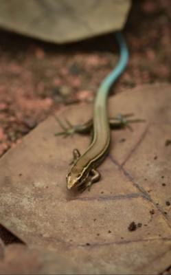 百慕达石龙子已经接近灭绝。(互联网图片)