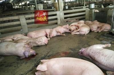 威南爪夷大水灾造成合共1000只猪溺毙。