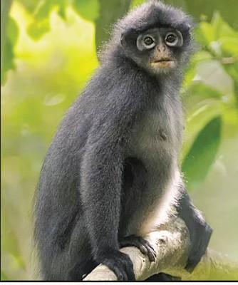 """印尼叶猴被列为""""极度濒危物种"""",独有的漂亮黑白毛色,居銮、古来、哥打丁宜等树林有印尼叶猴的踪迹。"""