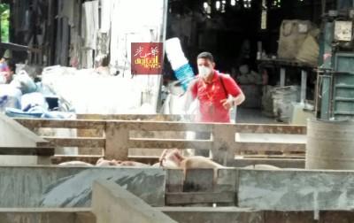 兽医局人员确保生存的猪只没有感染疾病。