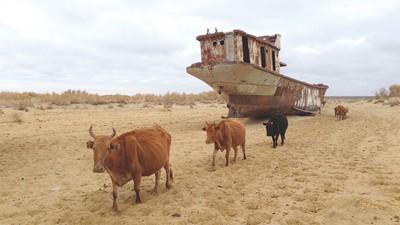 乌兹别克斯坦,荒漠的土地上,遗落的船和牛群们相伴。