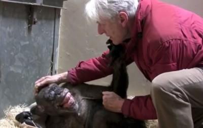 """阿嬷猩猩""""玛玛""""濒死厌食,看到44年人类老友霍夫造访,笑了。"""