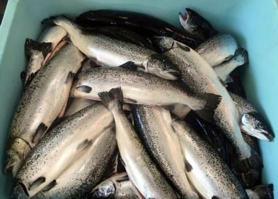 不少苏格兰三文鱼所含的海虱数目超出安全标准。