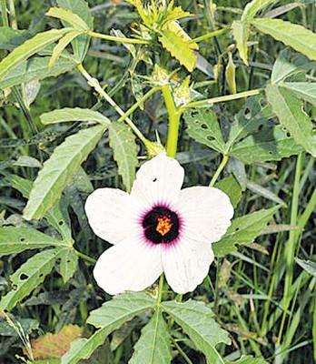政府决定大量在国内种植拥有市场需求的洋麻。