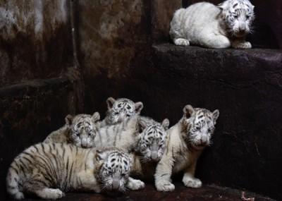 6号称白虎家族的新成员诞生。