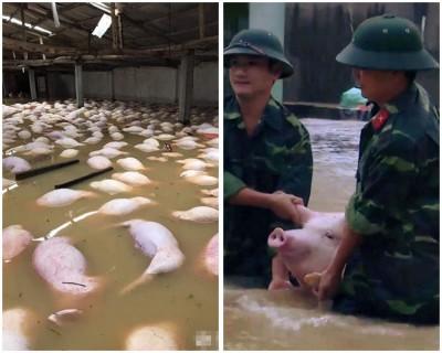 养猪场被浸在水中,数以十万计猪只吃浸死(左图);至于人员帮抢救猪只。
