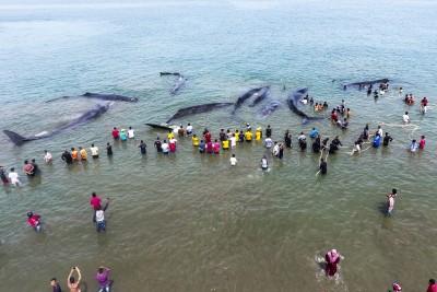 数以十万计救援人员以及义工营救抹香鲸。(法新社照片)