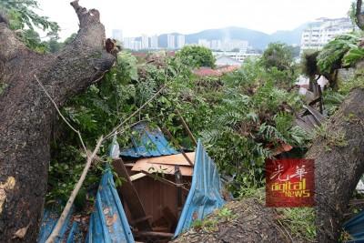 80年老树连根拔起,压在陈氏一家的住所。