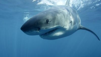 咬人鲨鱼据报是虎鲨。