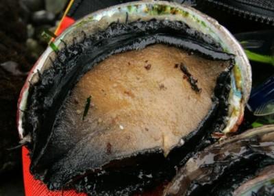 加州明年禁捕鲍鱼。