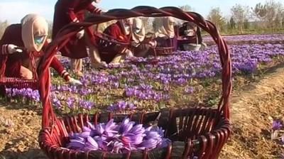 阿富汗部分农民转种藏红花来摆脱对鸦片的依赖。