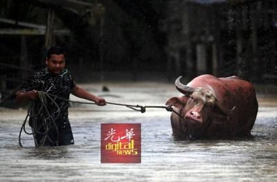 绵延4上的大雨令彭亨州差不多只地方来水灾,关丹甘榜又卡丁的农家牵着蓄养的水牛疏散到较高的地面避难。
