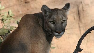 东部美洲狮在人类滥杀下宣布绝种。
