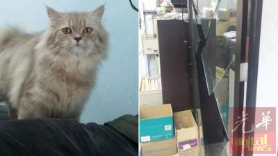 (左)这只寄放在猫儿旅馆的波斯猫,被窃贼相中后偷走,如今下落不明。(右)陈渊鹏的店面被窃贼打破玻璃门干案。