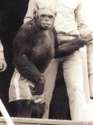 """黑猩猩Oliver因为长相、行为举止都很奇特,曾被怀疑是""""猩猩人""""。"""