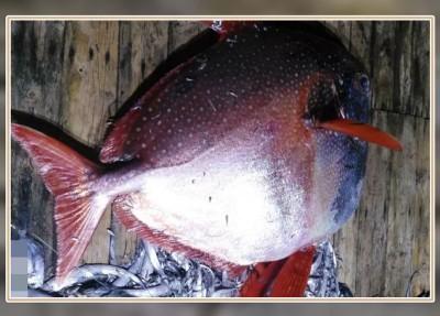 """""""月亮鱼""""体形庞大、重量超过100公斤。"""