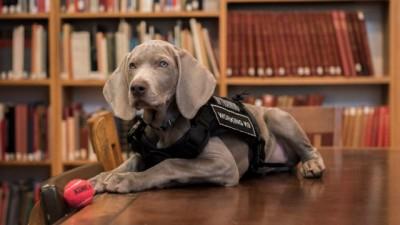 """威玛猎犬""""芮莉""""将在波士顿美术馆工作,闻出艺术品有没有藏害虫。"""