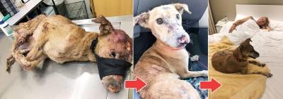 2016年5月:伤痕累累的Orange在槟岛平安兽医所就医。它的右后腿断了一截,黑色鼻子不见了。 2016年12月8日:Orange脸上伤口长出新皮毛,这天它准备去见安娜和丈夫。 2018年1月18日:安娜和Orange下榻酒店,准备飞往澳洲。
