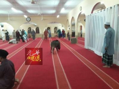 山猪闯入清真寺内,引骚乱。