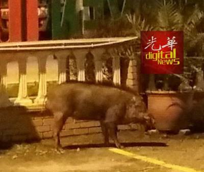 山猪在清真寺外出现。