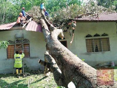 榴梿树连根拔起压毁一中住家,庆一家6人逃劫数。