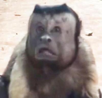 """猴子的脸部实在太像人类,网友一度怀疑""""这根本是管理员吧""""。"""
