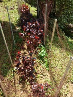 为维护种下的消费,农妇们以花卉四周围起防护网,避免持续受到野猪破坏。