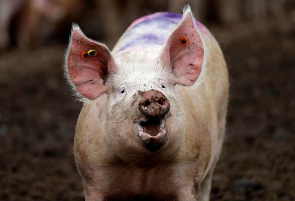 研讨人员维持断头猪脑的循环系统,为猪脑在退身体的情况下存活36时。