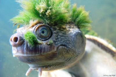 隐龟头部似庞克峰,充分突出。