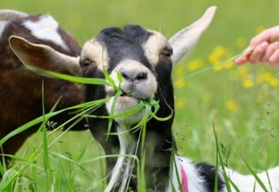 """而""""放羊吃草""""的效益是,用可逐步扩大到市中心。"""