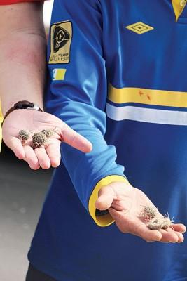 丹绒道光海域出现大量小海胆(俗称海红毛丹)。