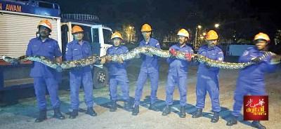 民防局队员联合擒捉一只重达25公斤的峇迪蟒蛇。